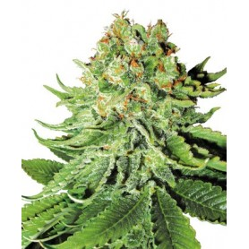 Northen Lights Autofloreciente de Sensi Seeds 3u