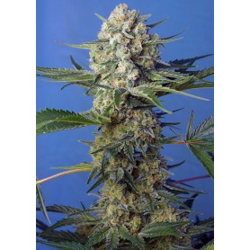 Crystal Candy F1 Fast Versión de Sweet Seeds