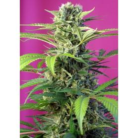 Chem Beyond Diesel CBD de Sweet Seeds
