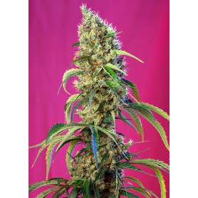 Black Jack CBD de Sweet Seeds