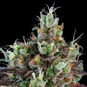 Sour Ripper de Ripper Seeds