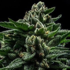 DO-G Feminizadas de Ripper Seeds