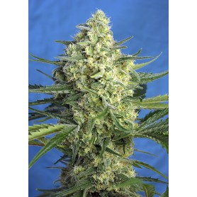 Jack 47 XL Autofloración de Sweet Seeds